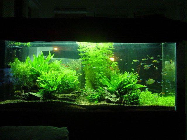 Freshwater Planted Aquarium | Planted Aquarium | Pinterest