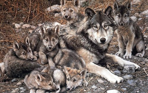 Gottalovedrums Wolf Pictures Animals Beautiful Animals