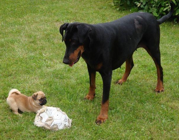 Pug Doberman Luna And Vic Sort Of Zena Wester Pugs