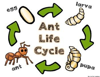 All About Ants Life Cycle Ant Bodies Life Cycles Ant Crafts Ant Life Cycle