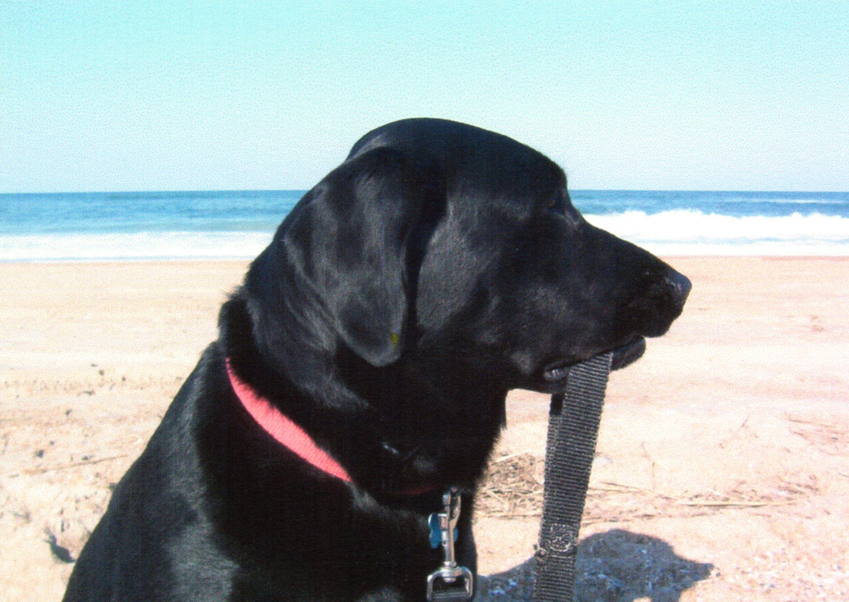 Andy outer banks nc labrador labrador retriever retriever
