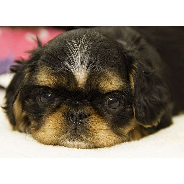 Instagram Photo By American Kennel Club Mar 14 2016 At 9 24pm Utc Spaniel Puppies English Toy Spaniel Spaniel Puppies For Sale