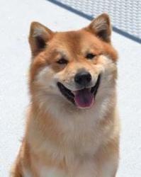 Adopt Frito On Chow Chow Dogs Shiba Inu Mix Shiba Inu