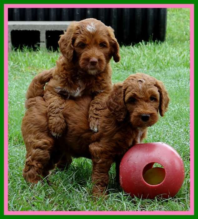 Southern Charm Labradoodles American And Australian Labradoodle Puppy Breeder Australian Labradoodle Puppies Labradoodle Puppy Labradoodle Puppies For Sale