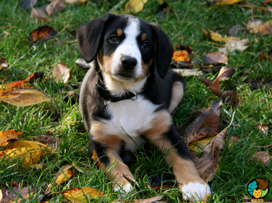 Entlebucher Mountain Dog Dog Breed Information Uk Pets Entlebucher Mountain Dog Dogs Mountain Dogs