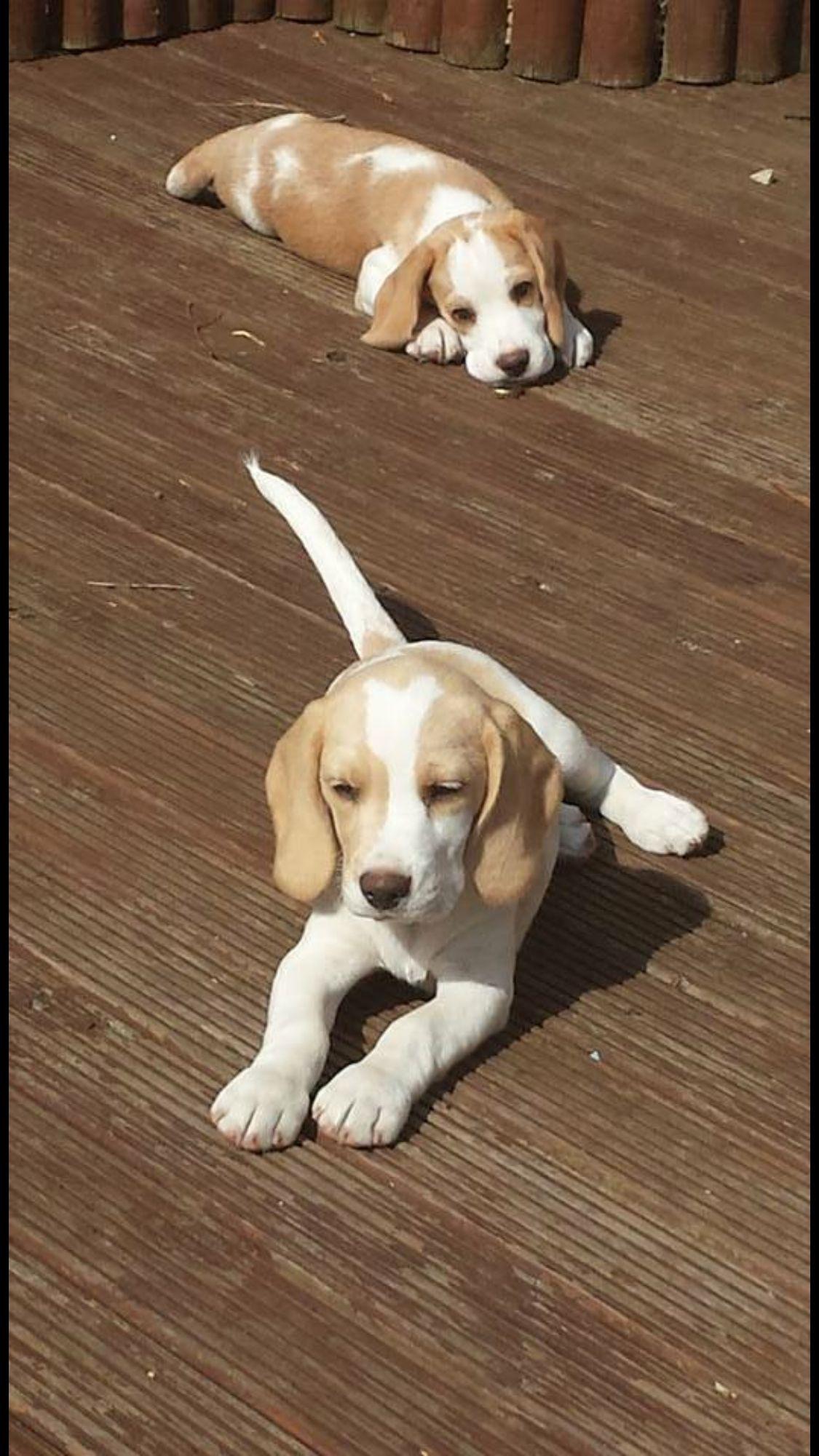 Beagle Friendly And Curious Baby Beagle Beagle Puppy Cute Beagles