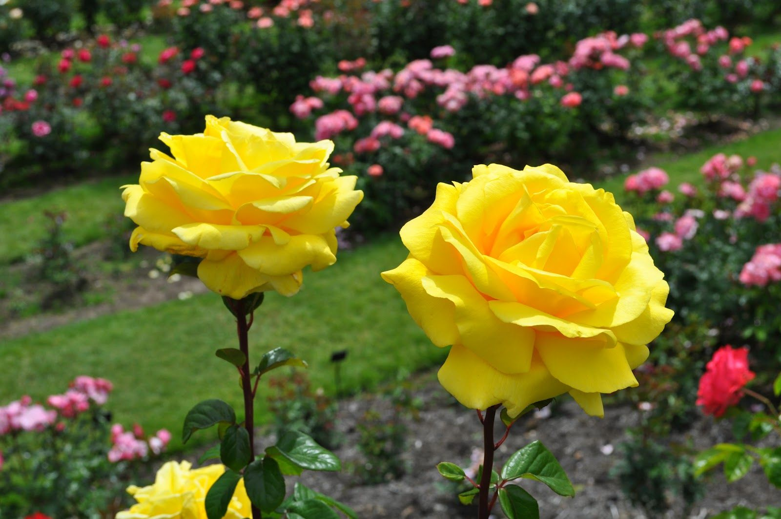 Most beautiful rose gardens in the world - Pin By Mother On My Dearest Pinterest More Garden Landscaping Ideas