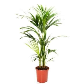Picture of Howea Belmoreana palm   house plants   Plants ... on names of exotic plants, low maintenance indoor plants, names of shade loving plants, names of iris plants, names of ground cover plants, names of orange plants, products we get from plants, names of florida palms, names of succulent plants, names of ornamental plants, names of climbers, names of perennial plants, names of wood plants, names of tropical plants, names of water plants, names of desert plants, names of landscape plants, names of all types of plants catalog, names of flowering plants, names of indoor plants,