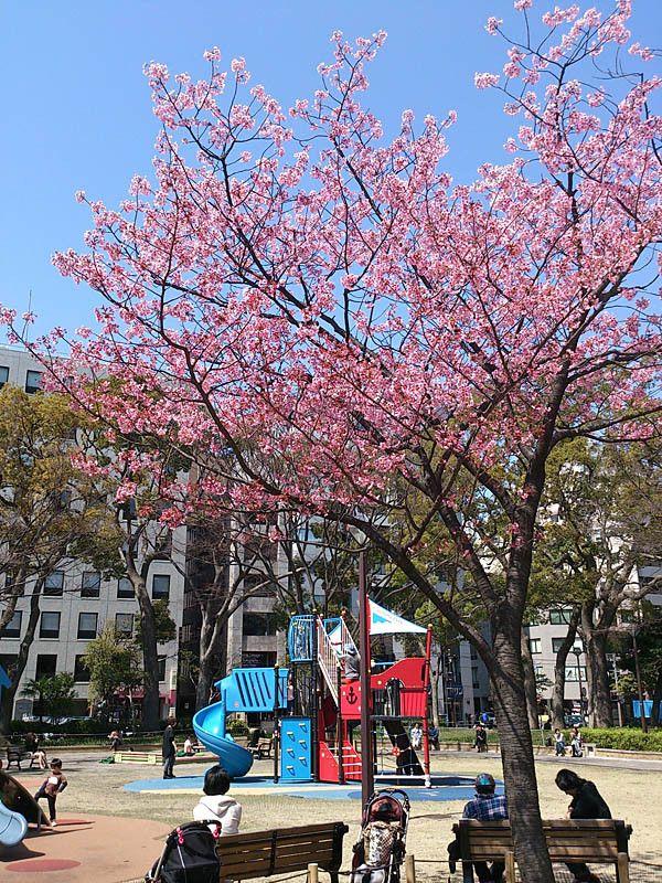 横浜公園で開花した「ヨコハマヒザクラ」