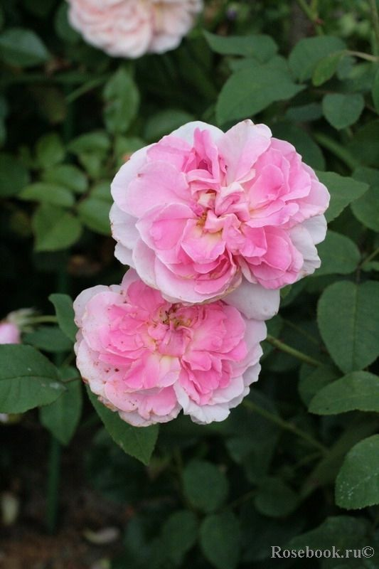 Amazing Cottage Rose English Rose Austin 1991 English Roses Download Free Architecture Designs Intelgarnamadebymaigaardcom