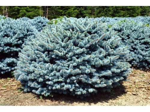 picea pungens 39 glauca globosa 39 grows about 3 39 wide. Black Bedroom Furniture Sets. Home Design Ideas