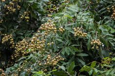 How-to-Grow-Longan-Fruit-Trees- | green thumb | Fruit plants