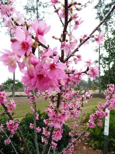 Cherry Blossom Tree The Tree Center