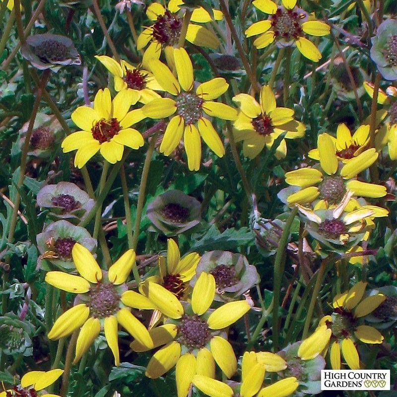Yellow Berlandiera lyrata Mora County Mix, Berlandiera lyrata Mora County Mix, Extra Cold Hardy Chocolate Flower