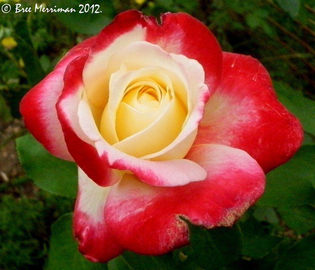 magenta роза фото