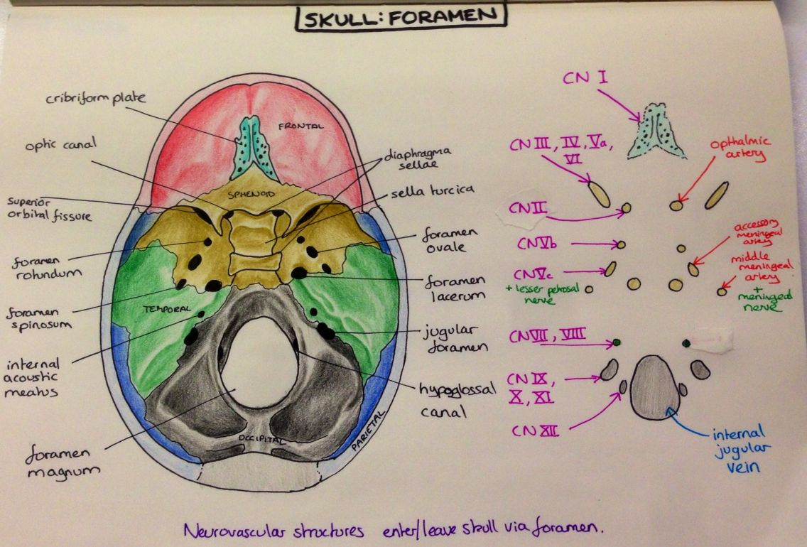 Skull foramen anatomy. Such fun! | neuroanatomy | Pinterest