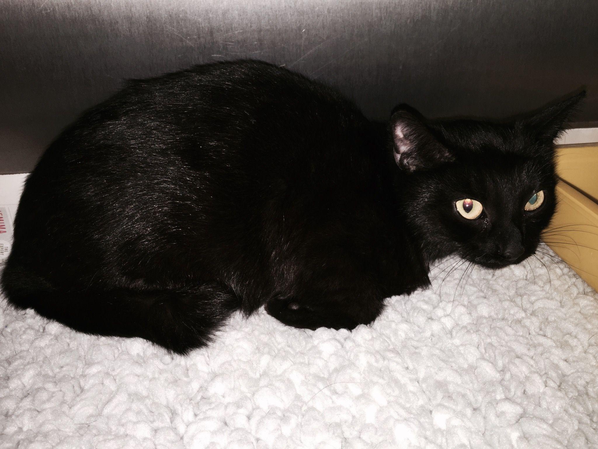 (4/2/15) Young black female cat, found near Brandon