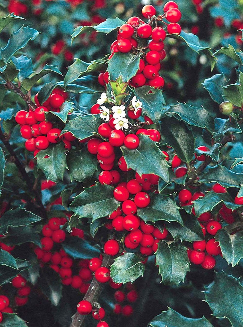 Blue Prince/Blue Princess Holly - Hardy Evergreen - 2 plants