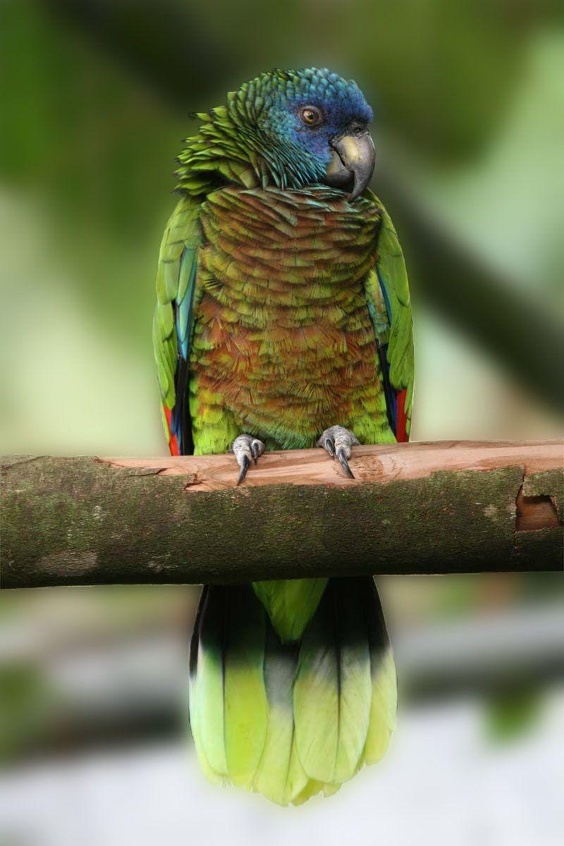 Resultado de imagen para Amazona versicolor