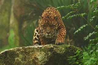 Jaguar Climbing Over Rock Wildlife Animals Animals Wild Cats