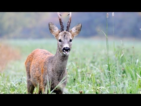 The Shooting Show - roe doe culling and the Heym SR30 - YouTube