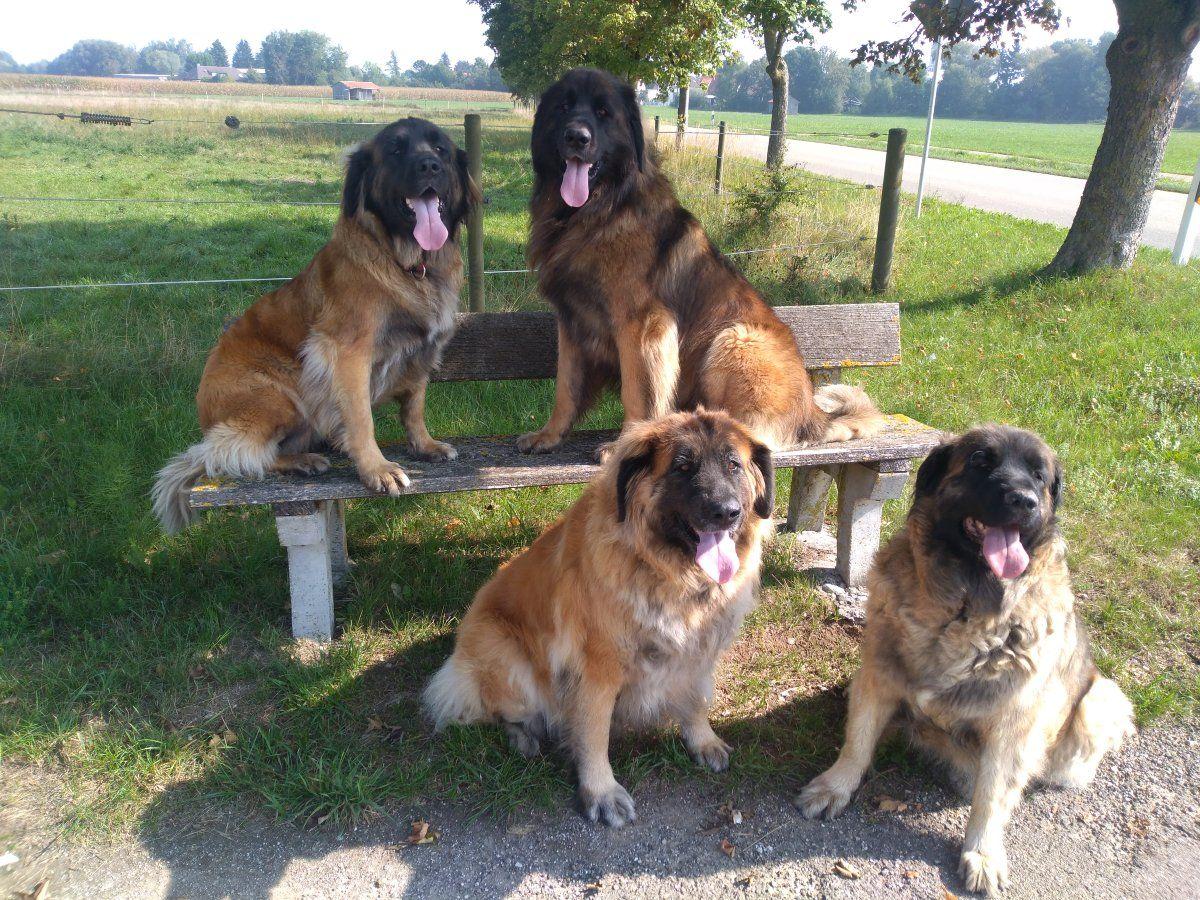 Leonberger Von Kuhlenthal Wir Stellen Uns Vor Leonberger Hunde Hunde Hunde Welpen