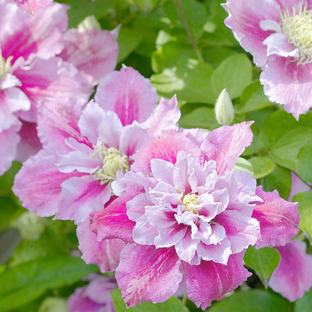 Powojnik Wielkokwiatowy Piilu Polpelne Kwiaty Clematis Piilu Flowers Perennials Flowering Vines Clematis