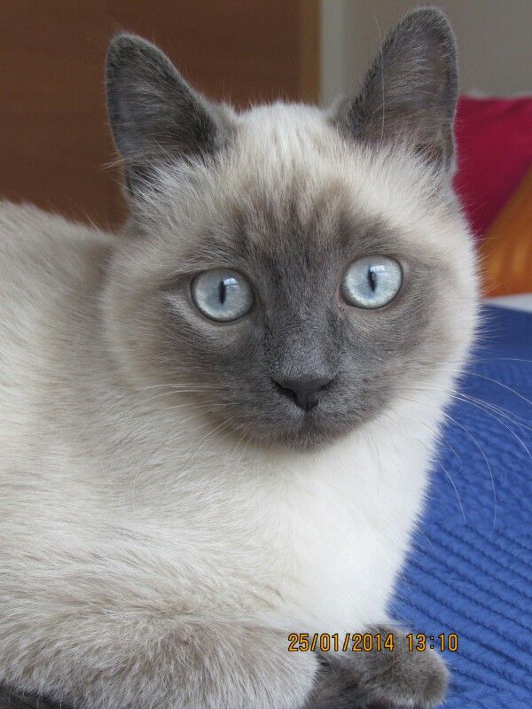 Siamese Kitty Cute Cat Blue Point Patitas Gato Siames Bengal Cat Kitten Cats Siamese Cats Blue Point