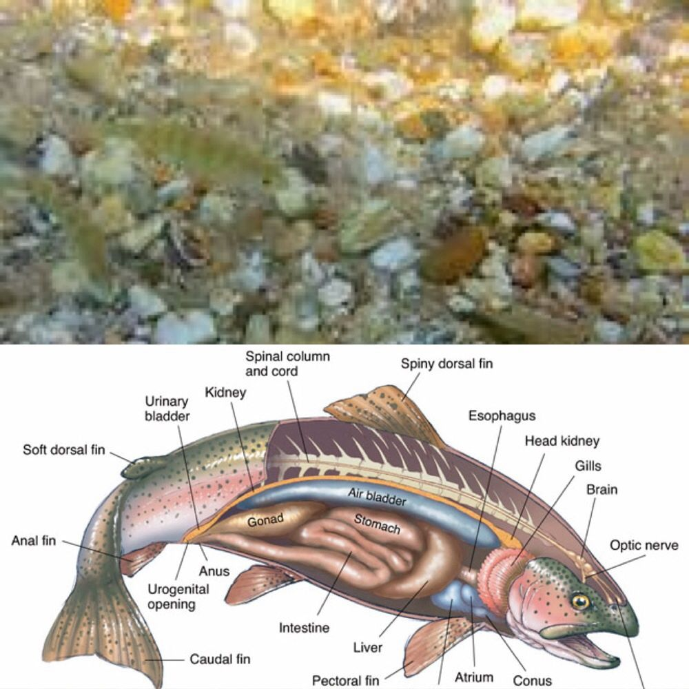 Rainbow Trout: Anatomy http://www.biographixmedia.com/biology/trout ...