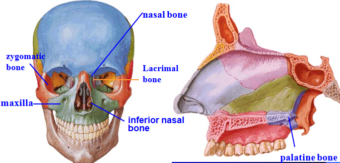 palatine bone on skull - Google Search | NEUROANATOMY | Pinterest