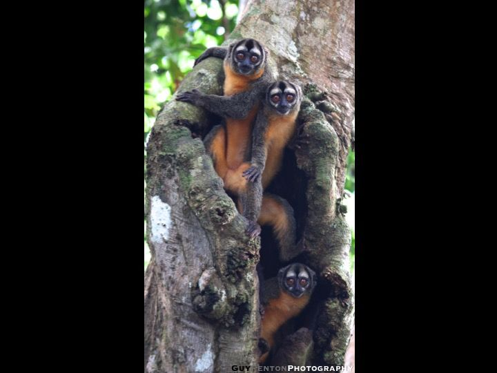 Check Out These Cute Owl Monkeys I Recently Saw In The Peruvian