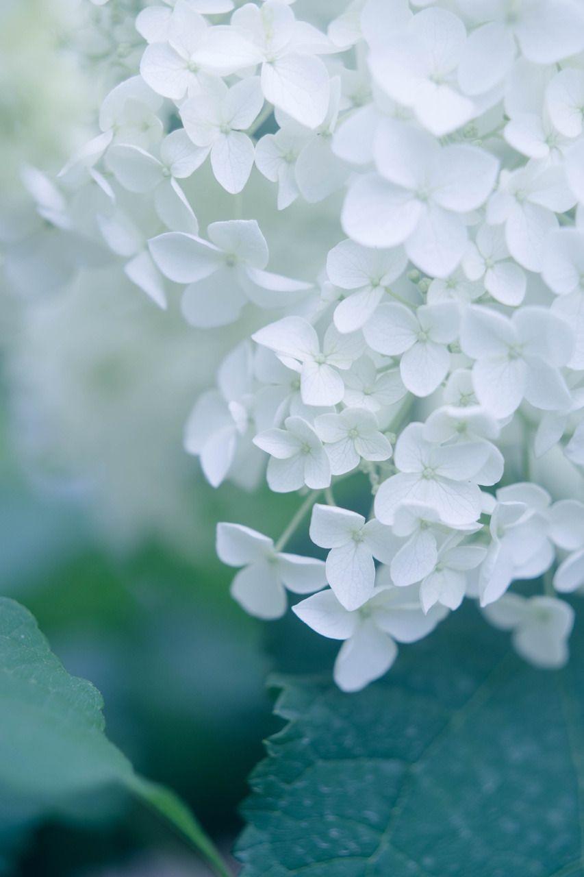 カメラと歩く 紫陽花 きれいな花 紫陽花 白 美しい花