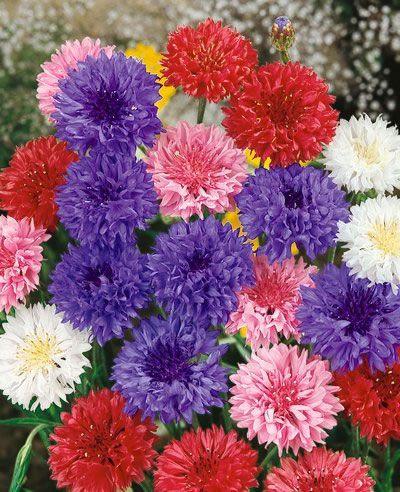 Bachelor S Button Flower Polka Dot Mix Flowers Flower Seeds Bachelor Button Flowers Grow Flower Seeds