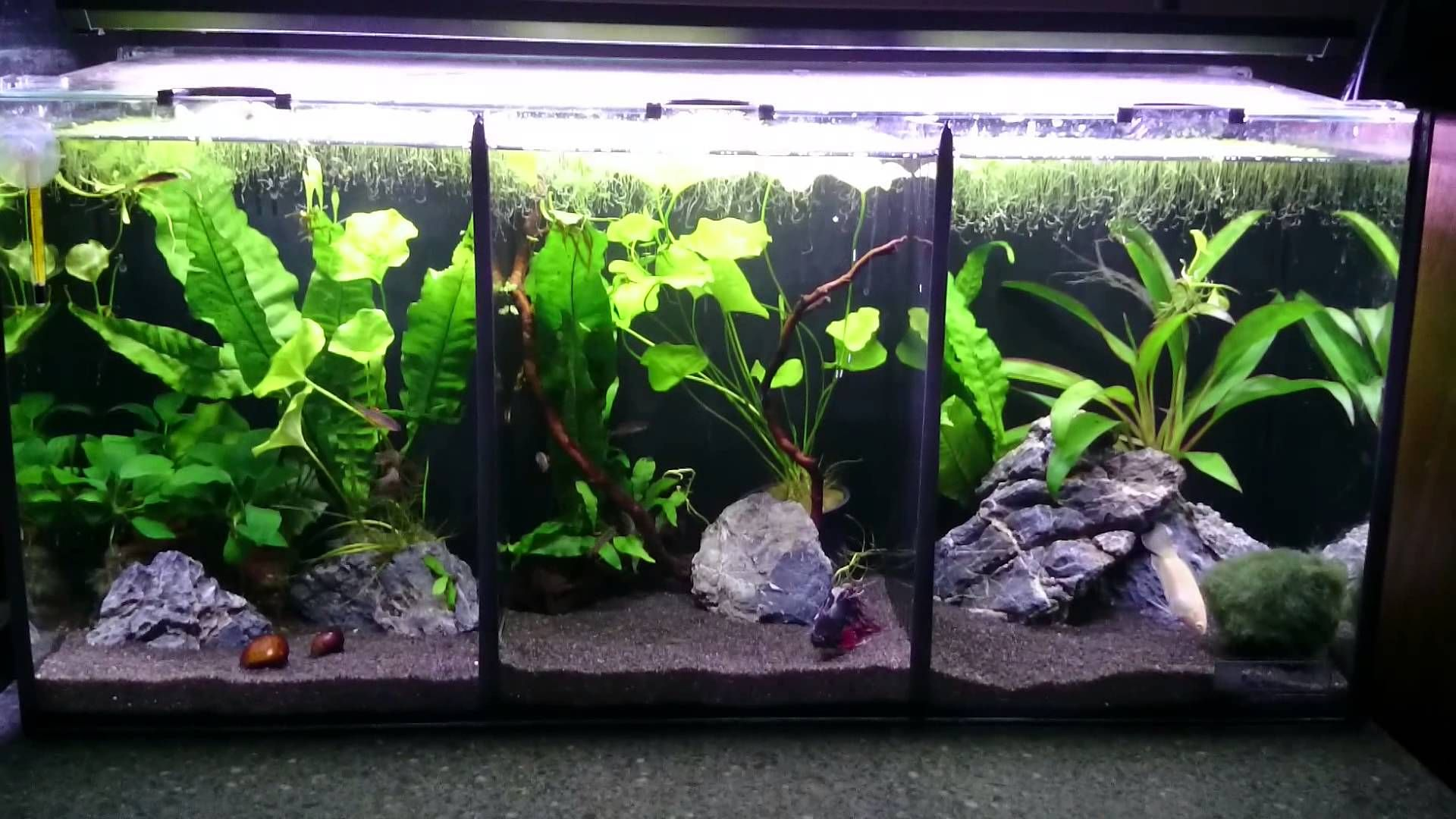 10 Gallon Tank Divided In 3 Parts Good Betta Tank Live Plants Betta Fish Tank Betta Aquarium Betta Tank