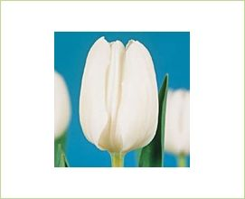 White Dream - Tulips - Flowers and Fillers - Flowers by category | Sierra Flower Finder