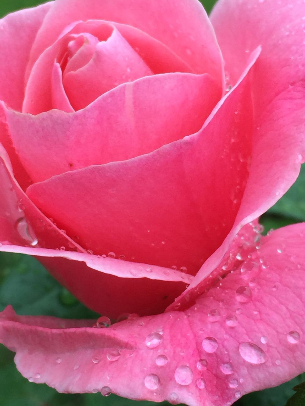 Rosa de pluja fleurs pinterest pink roses and flowers