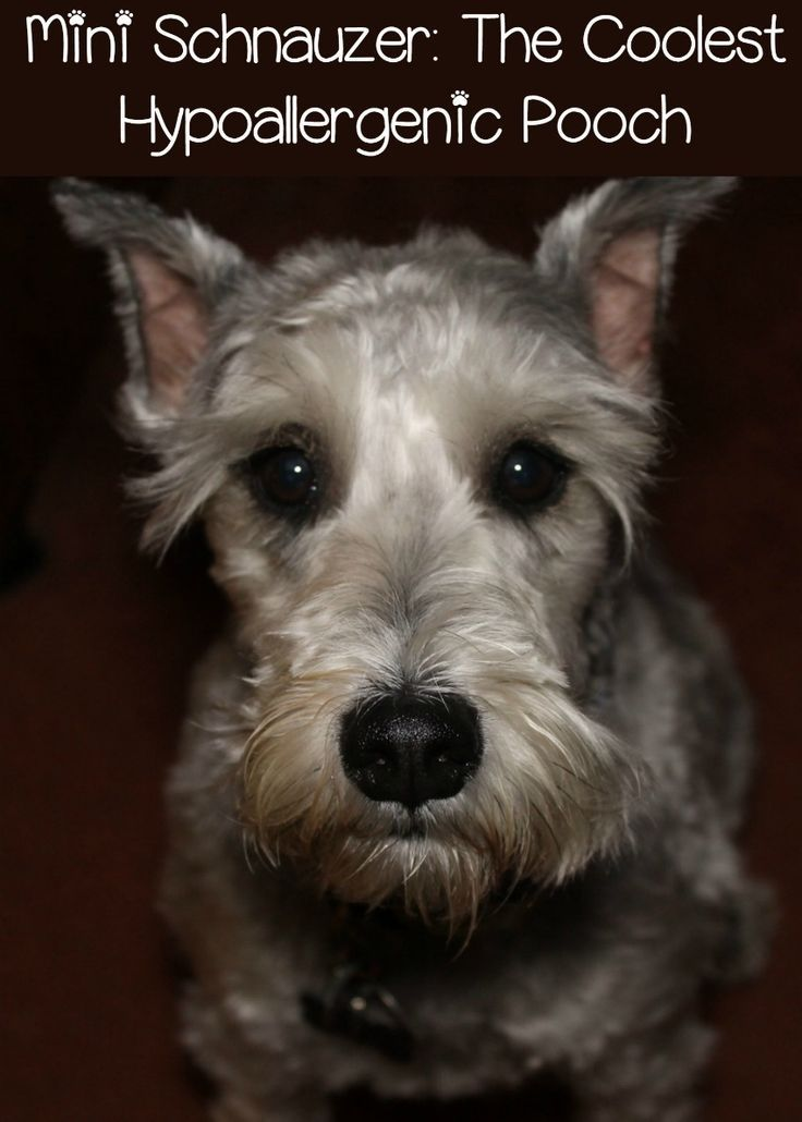 Miniature Schnauzer My Favorite Hypoallergenic Dog Cute