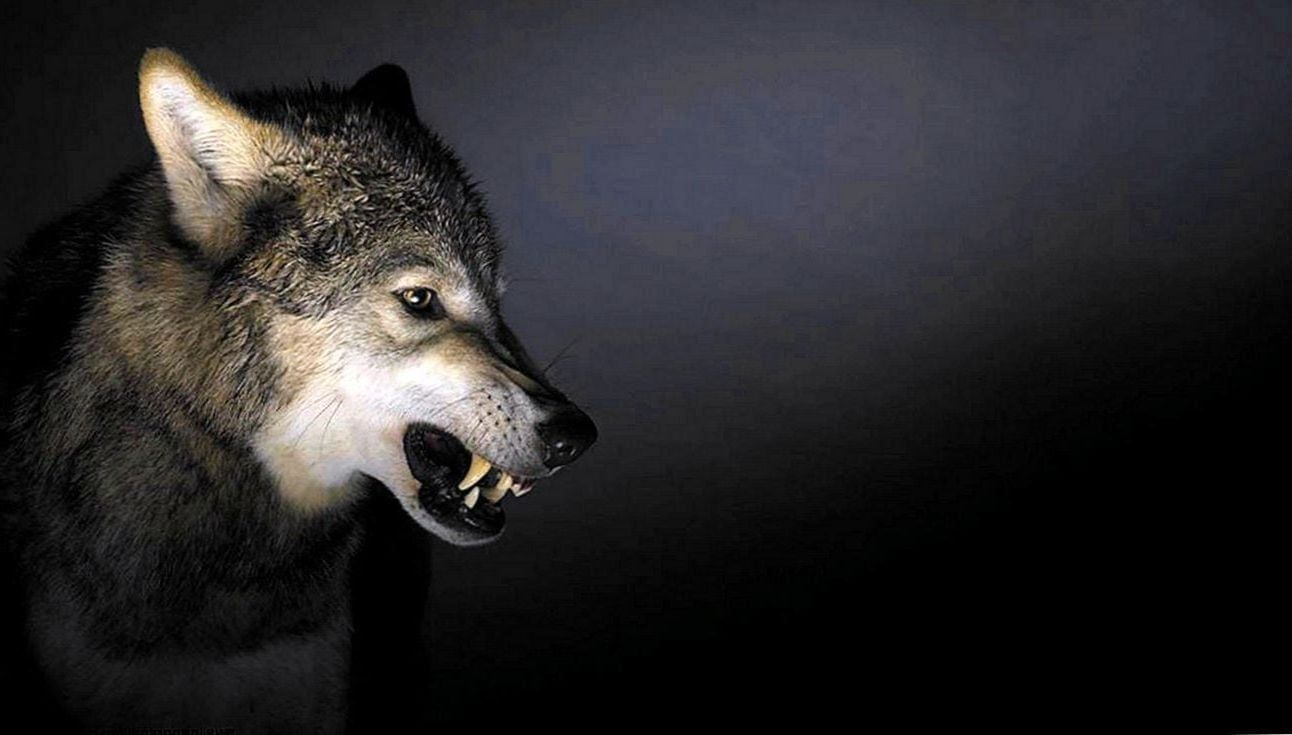 Angry Wolf Wallpapers 1920x1080 Wolf Wallpapers Pro With Images