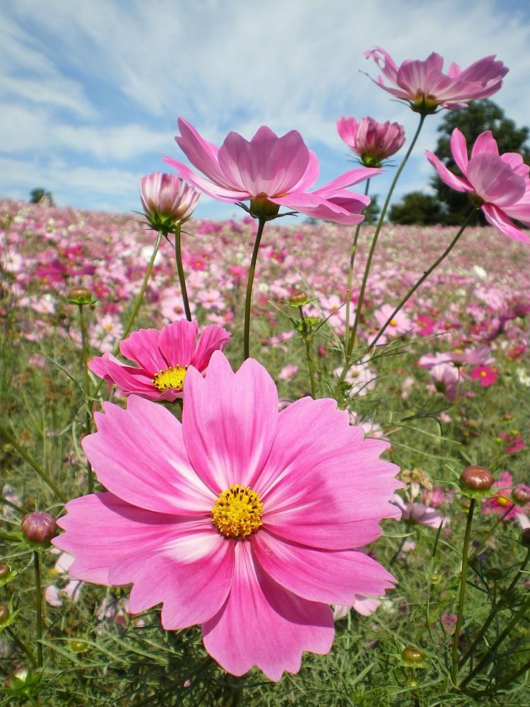 Beautiful Images Inspiration Photos Community Youpic Flowers Photography Cosmos Flowers Flower Pictures