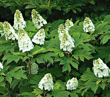 Some Improvements Make This Oakleaf Hydrangea Significantly Better Its Upright Habit I Hydrangea Quercifolia Hydrangea Landscaping Oakleaf Hydrangea Landscape