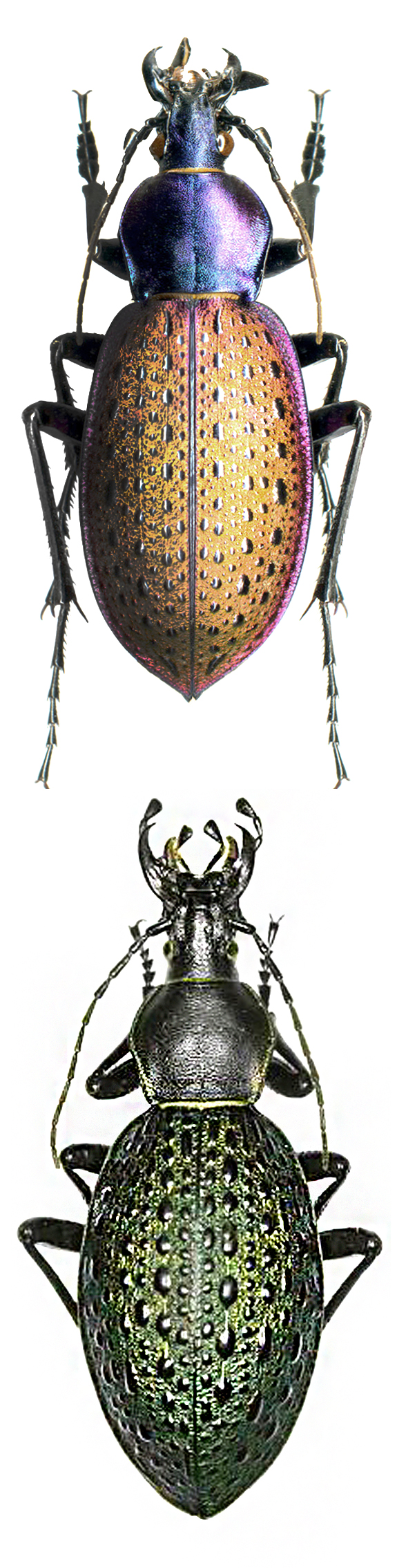 Coptolabrus formosus nilii, Coptolabrus formosus elytraviridis CARABIDAE