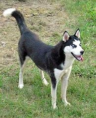 Lost Please Share Female Siberian Husky Black And White With