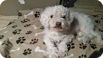 Poodle Standard Mix Dog For Adoption In Apache Junction Arizona