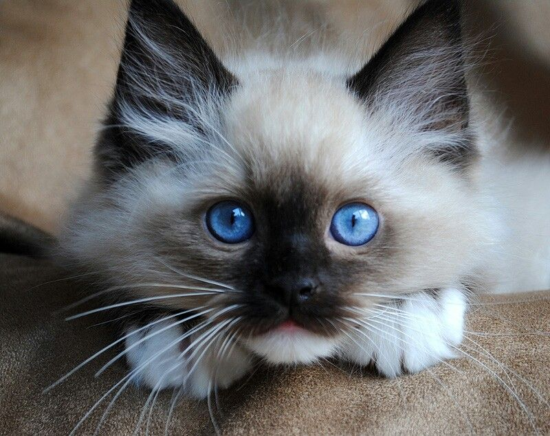 Top 10 Cutest Cat Breeds That Will Make You Smile Ragdoll Cat Breeders Cute Cat Breeds Cute Cats
