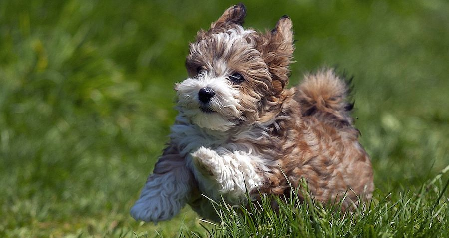Small Dog Breeds Information And Pictures Of All Small Dogs