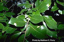 Black Gum Tupelo Tree Nyssa Ohio Trees