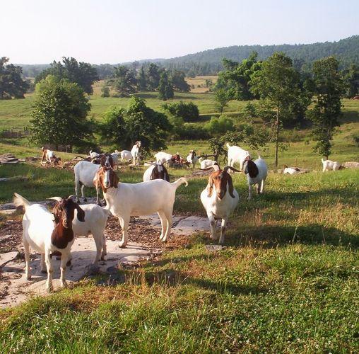 Arkansas Hardy Boer Meat Goats on Pasture