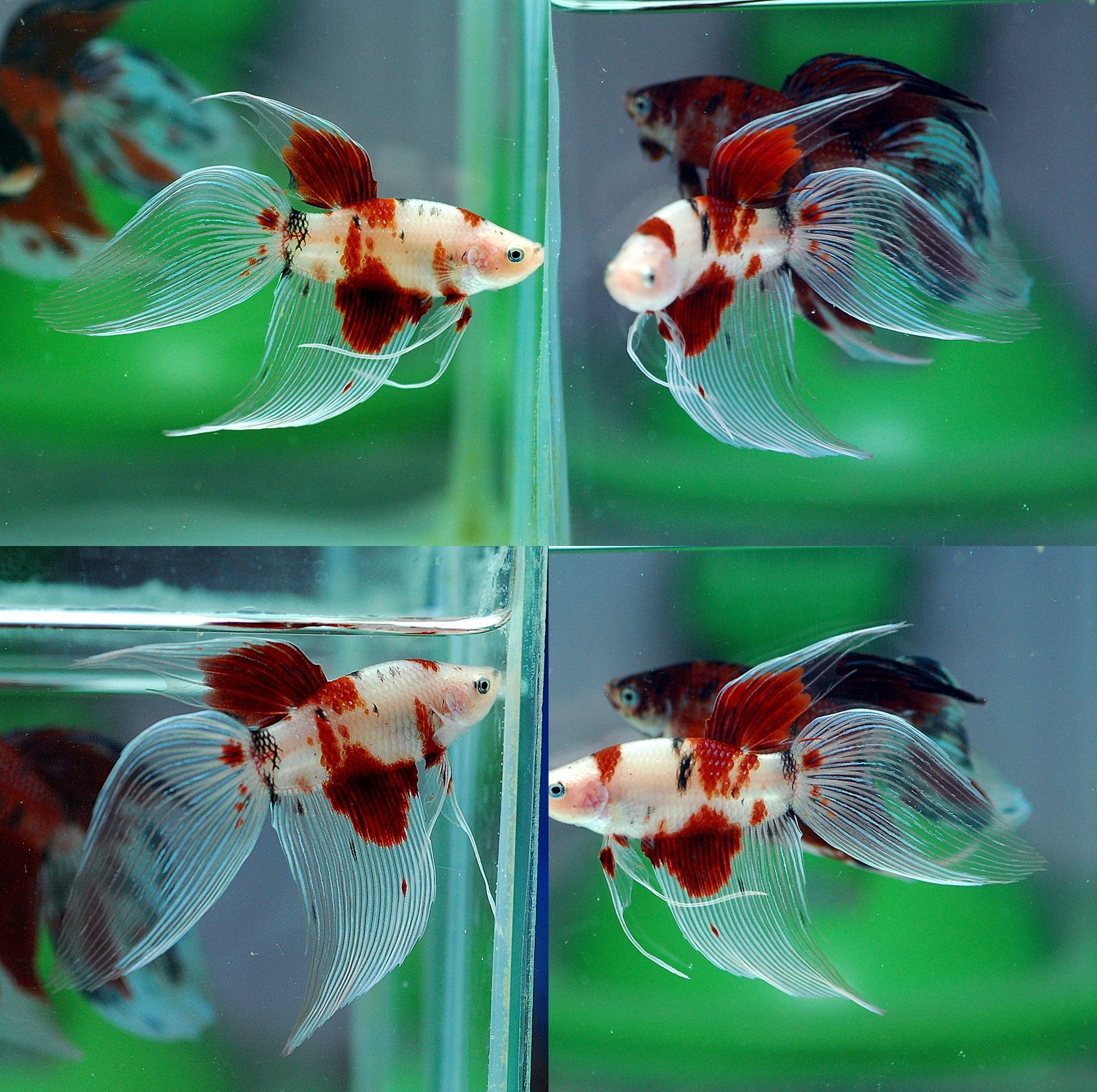 Fwbettasvt1486303211 vt koi 003 male home fish betta for Exotic koi fish