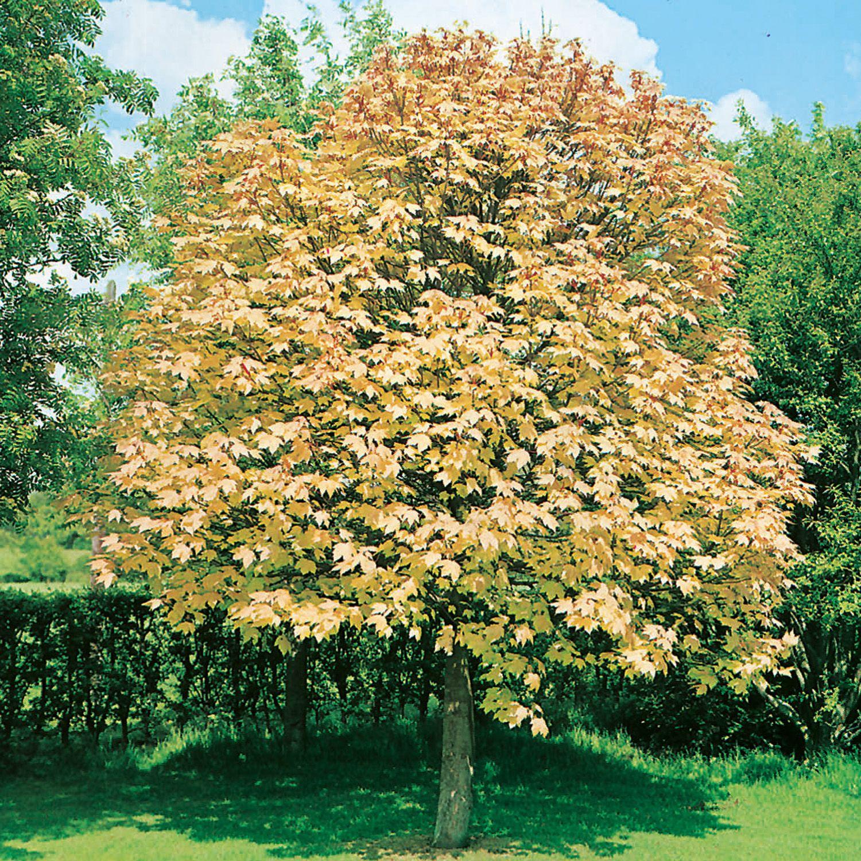 Acer Pseudoplatanus Brilliantissimum Sycamore Plants Garden Center Acer