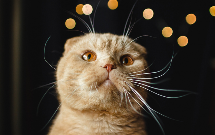Download Wallpapers Scottish Fold Cat Brown Cat Portrait Short Haired Cats Breeds Of Cats Cute Animals Pets Besthqwallpapers Com Scottish Fold Cat Scottish Fold Cat Breeds